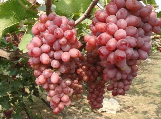"""鲜红色极早熟巨大粒葡萄新品种。日本新育成,亲本巴拉得×京秀,欧洲种,二倍体,日本各地试栽后,反响很大,被认为""""期待中的欧洲种葡萄诞生了""""。粒重12克,鲜红色,肉质适中,含糖量24%,品质极上,成熟期河北昌黎7月底8月初,成熟后可挂树一个月,风味品质更佳,无裂果,落粒现象,耐贮运,是目前非常有前途的鲜红色巨大粒极早熟葡萄品种。"""