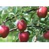 供应宫崎短枝苹果