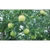 长期供应王林苹果树苗