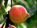 解析中华寿桃树苗的优点在哪里